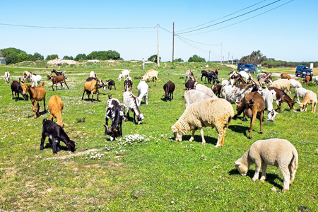 Sheep and goats in the countryside from Portugal
