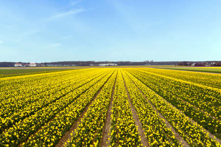 the netherlands: Yellow flower field blossoming in the Netherlands