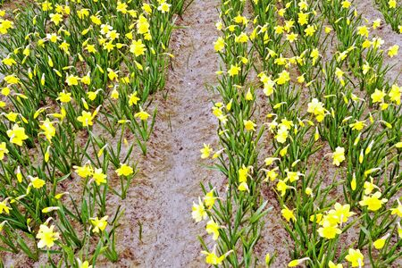 the netherlands: Yellow daffodils in springtime in the Netherlands