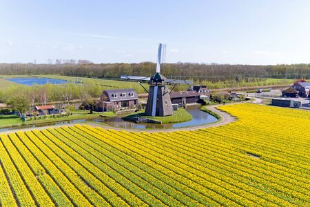 traditional windmill: Ancient traditional windmill in the blossoming tulip fields in the Netherlands Editorial