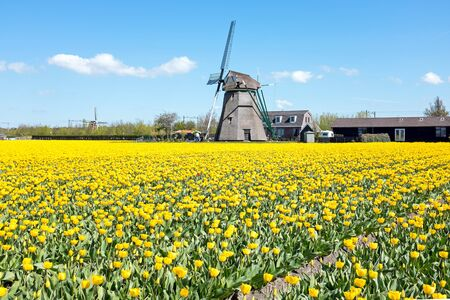 traditional windmill: Traditional windmill with blossoming tulips in a dutch landscape in the Netherlands