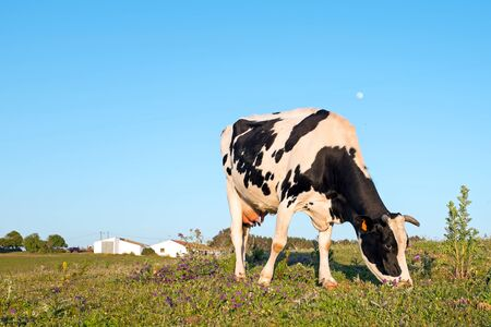 Young cow grazing on a meadow in Portugal Stock Photo