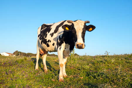 young cow: Young cow grazing on a meadow in Portugal Stock Photo