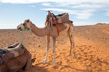 Camel in the Erg Shebbi desert in Morocco