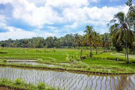 indo: Rice field agricultural landscape in the countryside from Java Indonesia Asia