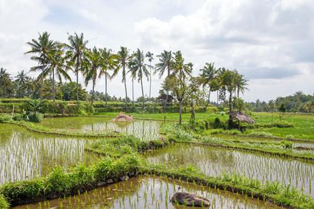 lombok: Rice fields in Lombok Indonesia