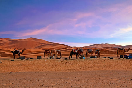 Camels in the Sahara desert from Morocco Africa