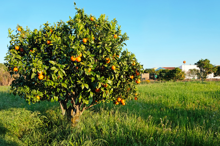 Orange tree in the countryside from Portugal