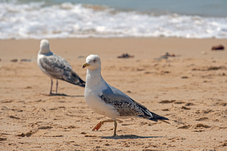 Seagull on the beach at the atlantic ocean in Portugal Standard-Bild - 123552704