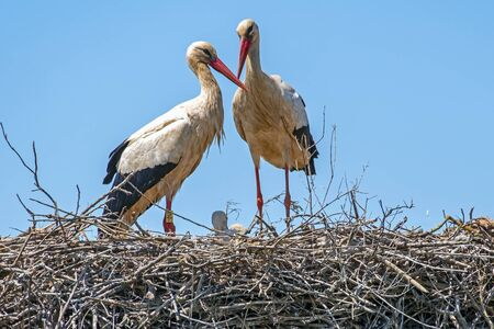Stork couple with baby on the nest Stock Photo