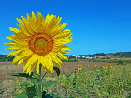 Blossoming sunflowers in the fields from Portugal