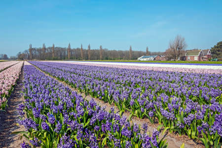 Blossoming purple hyaciths in the countryside from the Netherlands