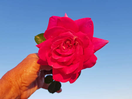 Blossoming red rose against a blue sky