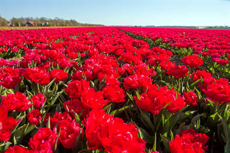 Tulip fields in spring in the countryside from the Netherlands 免版税图像