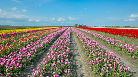 Blossoming tulips in the countryside from the Netherlands in spring