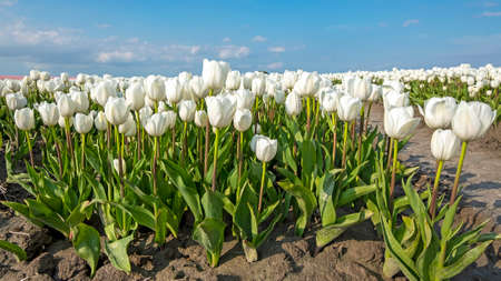 Blossoming white tulips in the countryside from the Netherlands in spring 免版税图像
