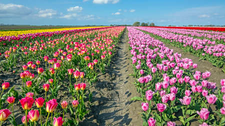 Blossoming tulip field in the countryside from the Netherlands in spring
