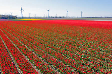 Wind turbines and tulip fields in the countryside from the Netherlands in spring