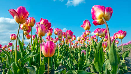 Blossoming purple tulips in the countryside from the Netherlands in spring 免版税图像