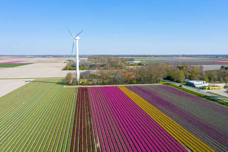 Aerial from blossoming tulip fields and a windmill in the Netherlands 免版税图像