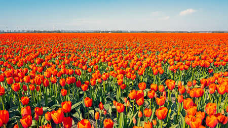 Blossoming tulip field in the countryside from the Netherlands 免版税图像