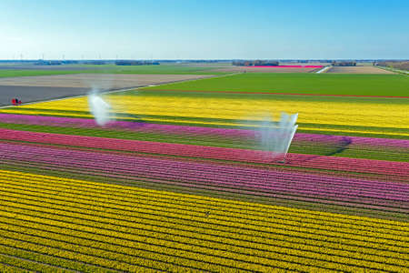 Aerial from spraying water on blossoming tulip fields in the countryside from the Netherlands in spring