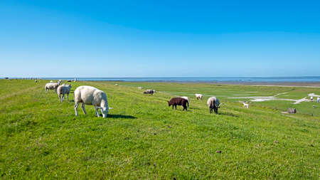 Sheep on the dyke in Friesland near the Wadden Sea in the Netherlands