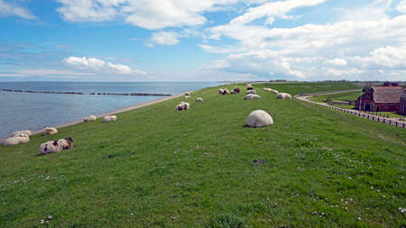 Sheep on the dyke near the Wadden Sea in the Netherlands