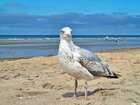 Seagull at the beach in summer in the Netherlands