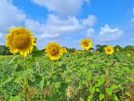 Blossoming sunflowers in the fields in the countryside from the Netherlands