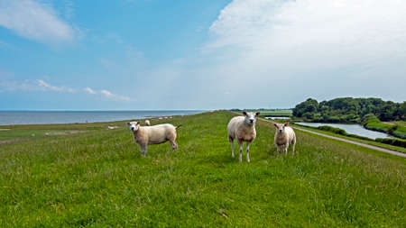 Sheep on the dyke at the Wadden Sea in Friesland the Netherlands 免版税图像
