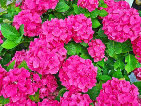 Blossoming hydrangea flowers in summer in the Netherlands