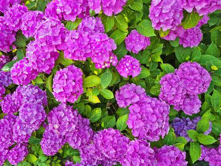 Purple hydrangea flowers in summer