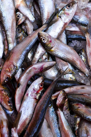 bluefish: Dead Fish Stock Photo