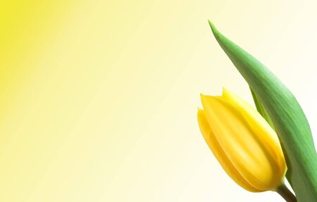 Yellow tulip isolated. Empty space to your text! Version 3 Stock Photo - 1092037
