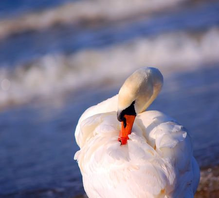 observe: Beautiful swan on sea background