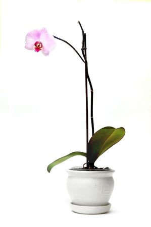 Beautiful blossoming orchid in flowerpot isolated on white Stock Photo - 1105585