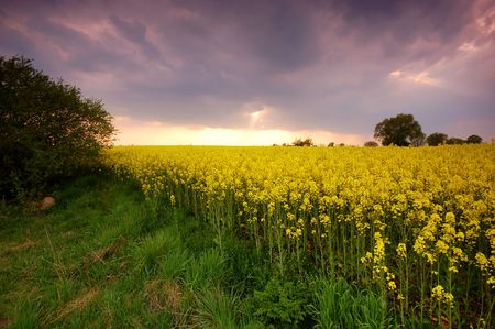Spring sunset scenery. Rape field Stock Photo - 1105581