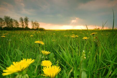 Spring sunset scenery. Fresh meadow with dandelions Stock Photo - 1105597