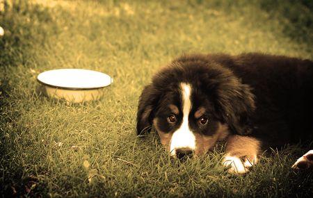 trustful: A trustful friend. Portrait of puppy Bernese mountain dog