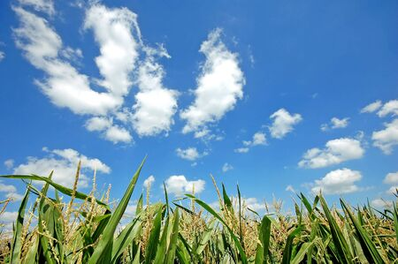 Fresh green corn field on bright blue sunny sky background photo