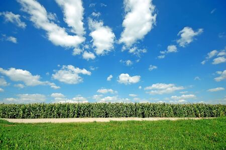 Fresh green corn field on bright blue sunny sky background Stock Photo - 1895412