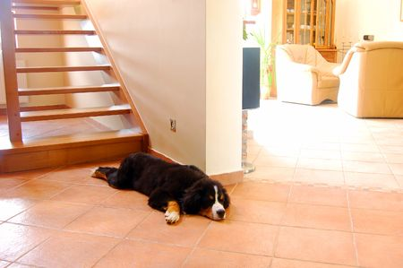 Home interior and dog lying next to stairs photo