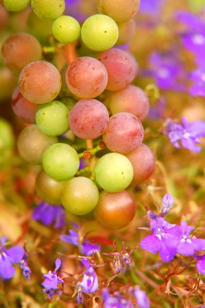 a bunch of colourful grapes photo