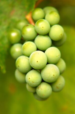 a bunch of green grapes Stock Photo - 2016872