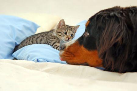 gato jugando: Perro y gato jugando en la cama  Foto de archivo