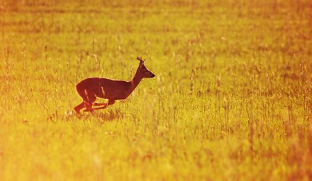 Animal background beautiful roe-deer running. With copyspace Stock Photo - 3254013