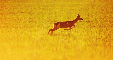 Animal background beautiful roe-deer running. With copyspace photo