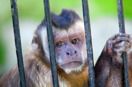 Monkey species Cebus Apella behind bars. Captivity concept etc Stock Photo - 7592052