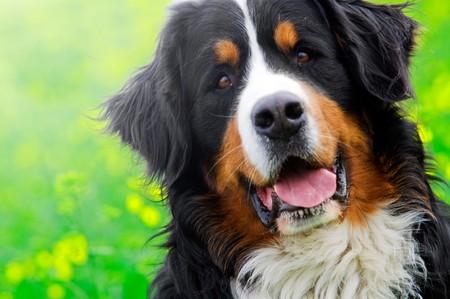 Bernese Mountain Dog portrait in flowers scenery photo